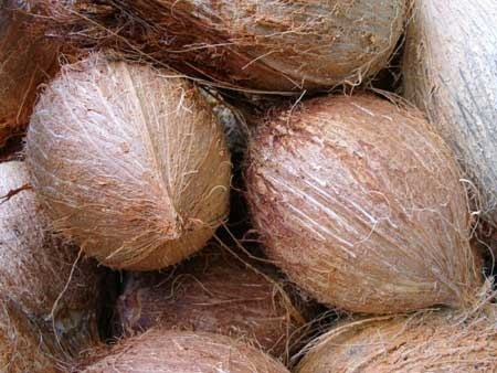 MESPT testing Indian coconut varieties that grow everywhere