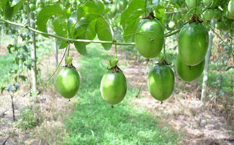 Horticulture industry in Kenya || Food Friday