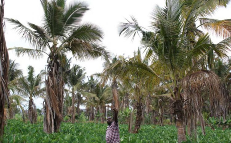 Boost as hybrid coconut seedlings launched